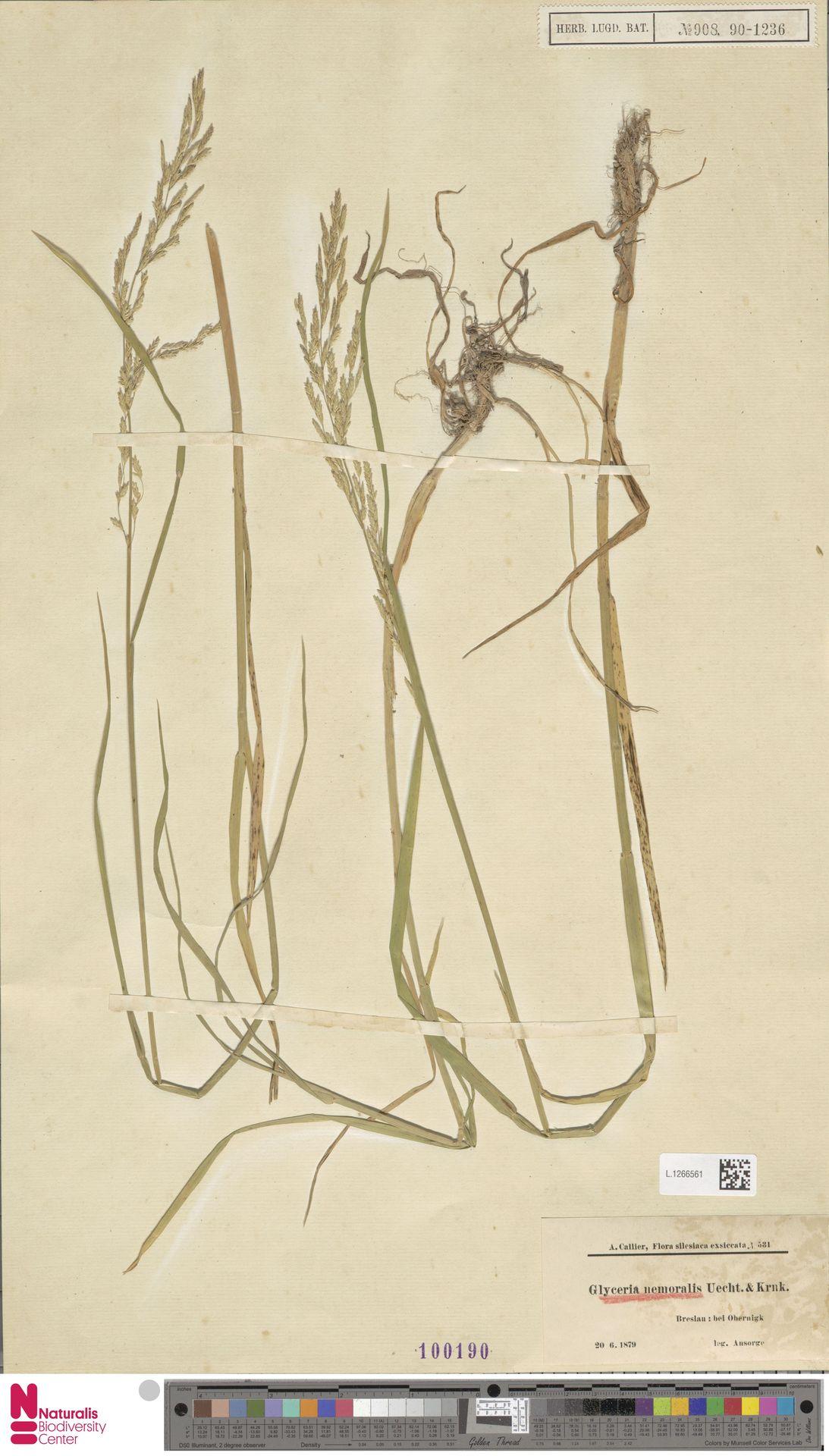 L.1266561   Glyceria nemoralis (Uechtr.) Uechtr. & Körn.