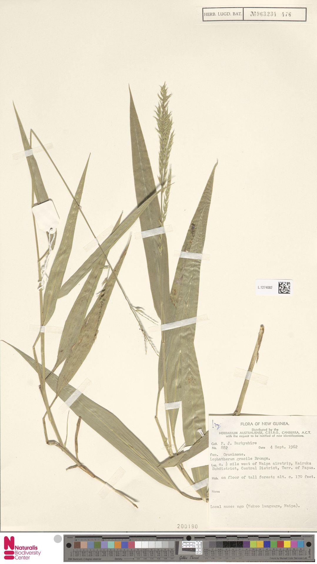 L.1274082 | Lophatherum gracile Brongn.