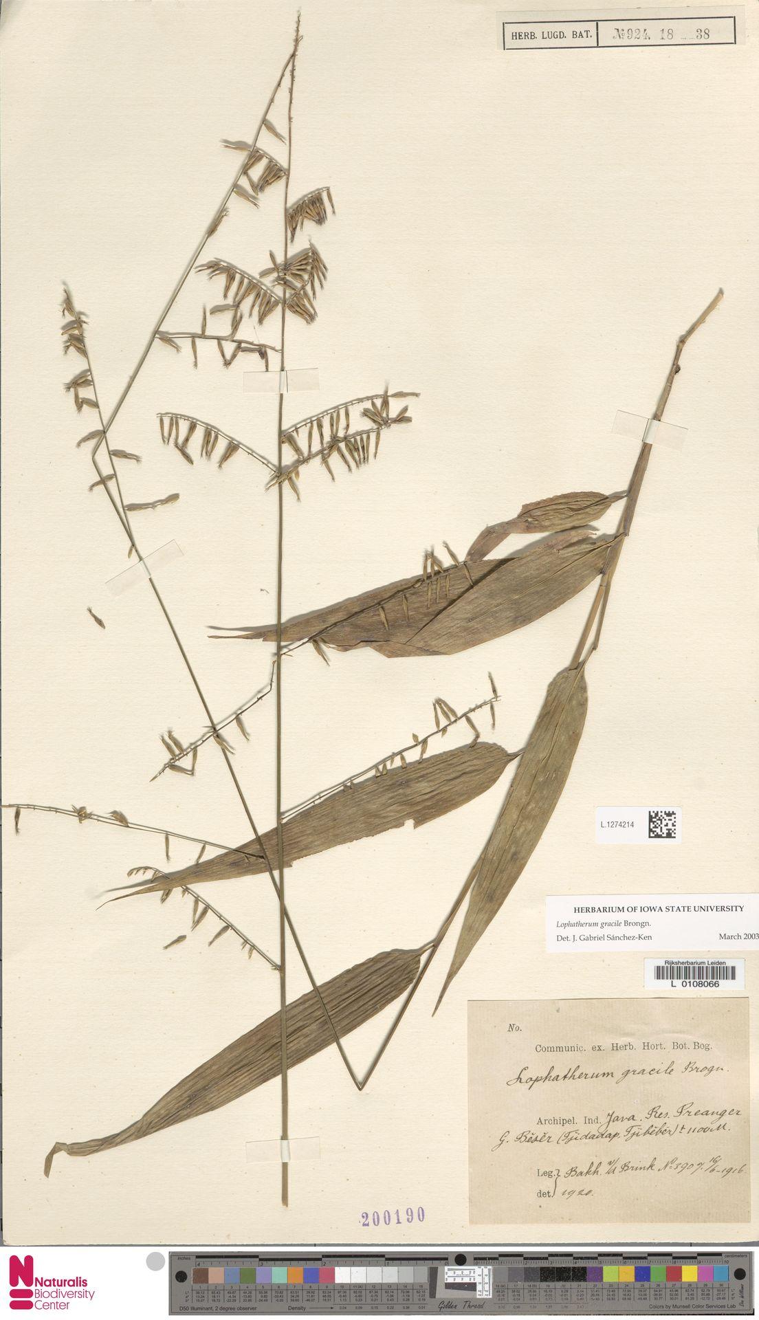 L.1274214 | Lophatherum gracile Brongn.