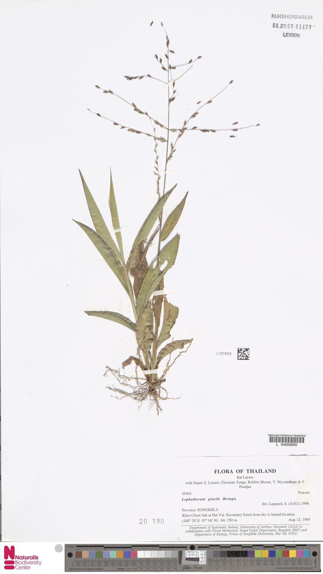 L.1274318 | Lophatherum gracile Brongn.
