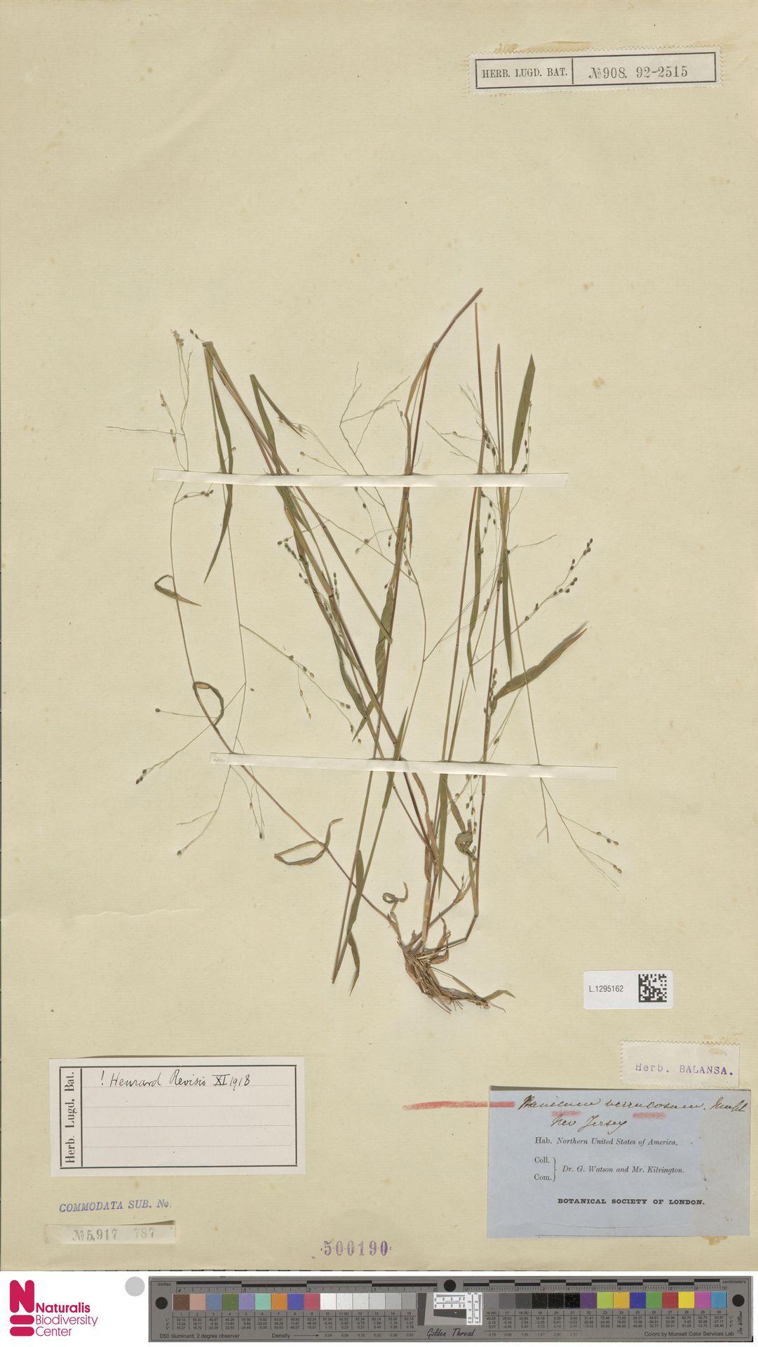 L.1295162 | Panicum verrucosum Muhl.