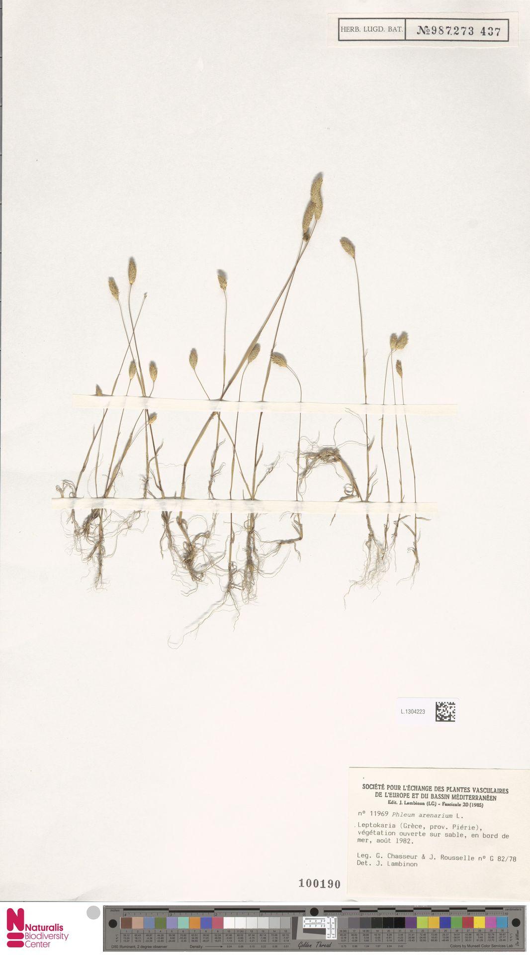L.1304223 | Phleum arenarium L.