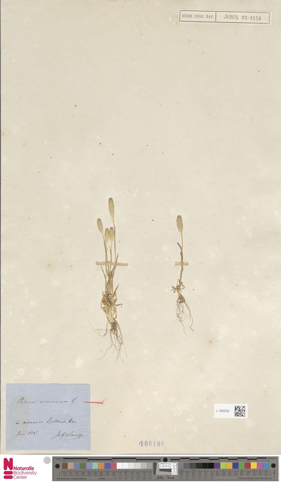L.1304230 | Phleum arenarium L.