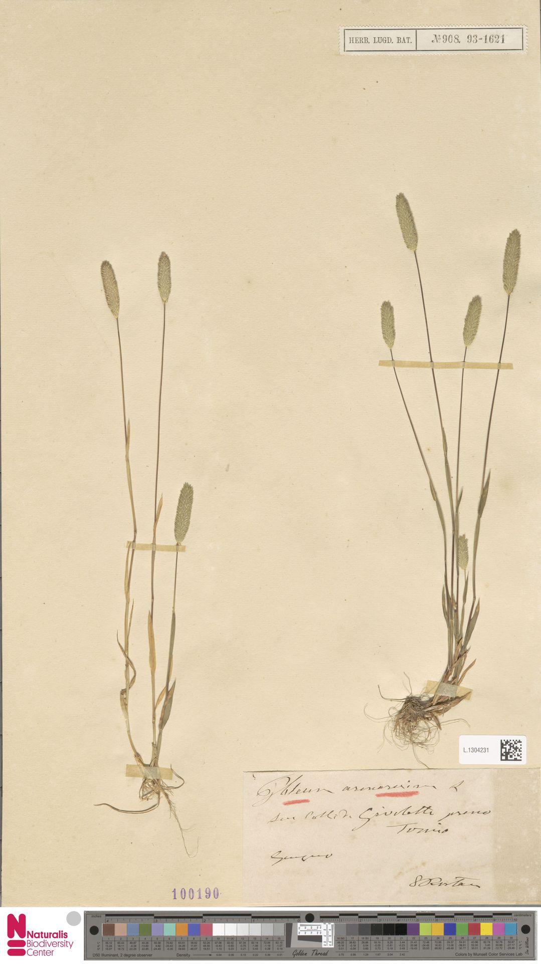 L.1304231 | Phleum arenarium L.
