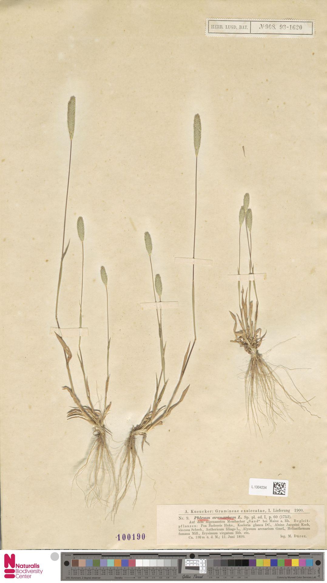 L.1304234 | Phleum arenarium L.