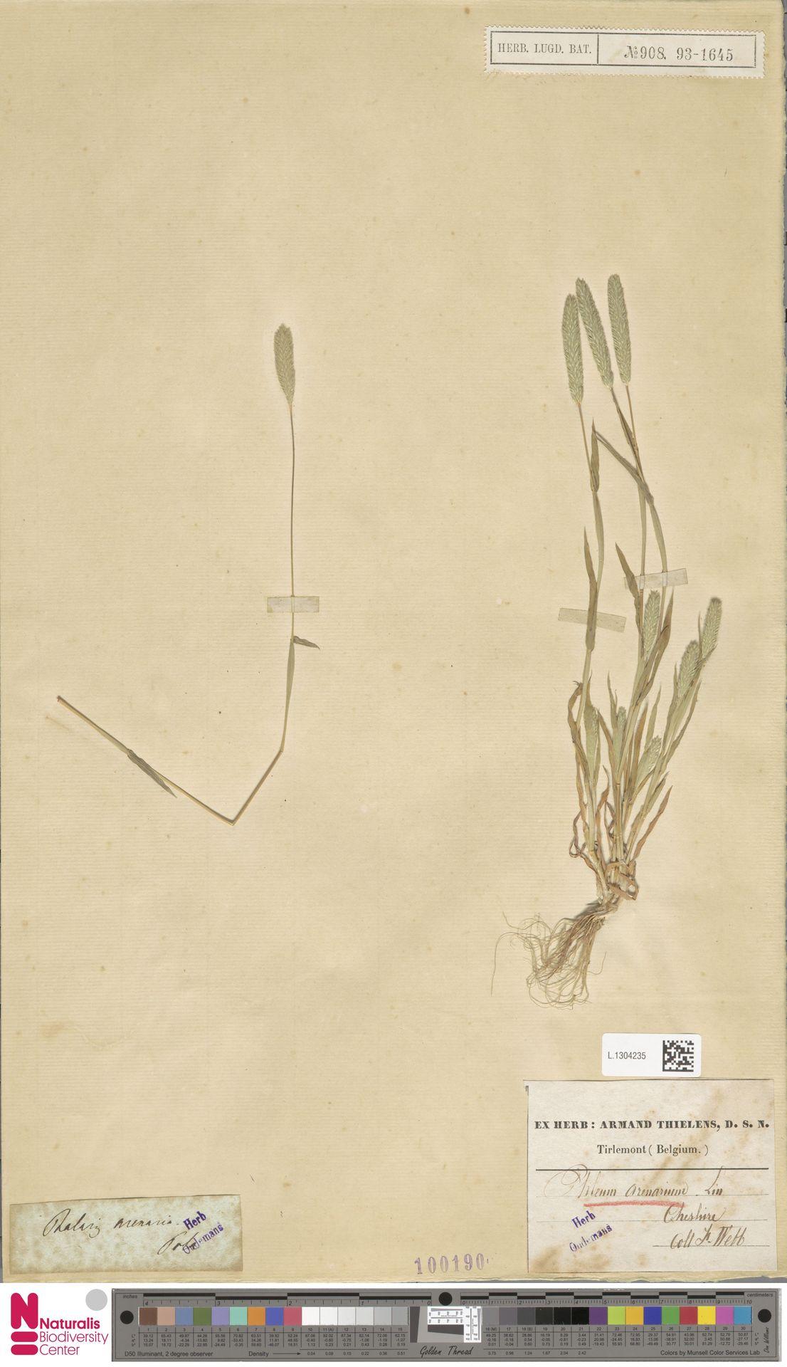 L.1304235   Phleum arenarium L.