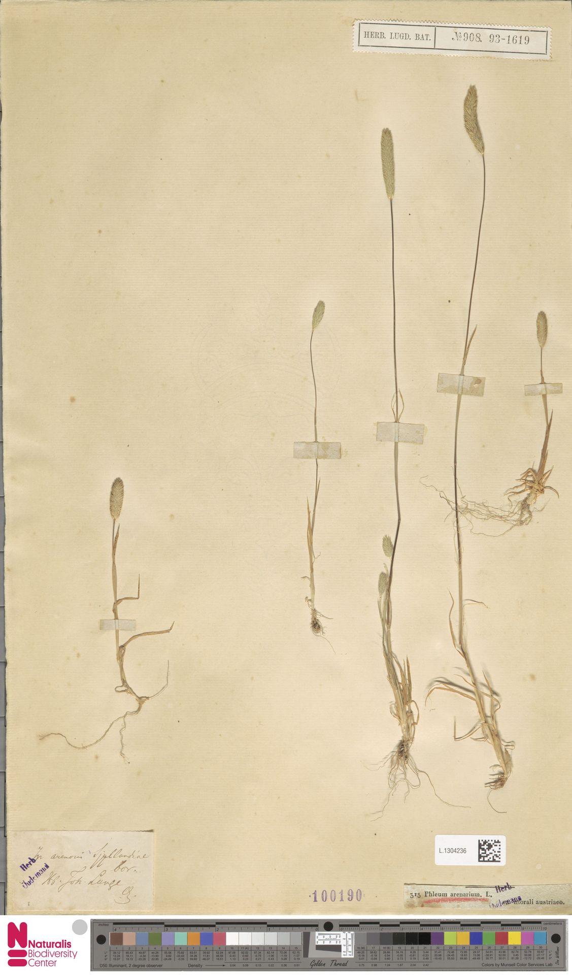 L.1304236 | Phleum arenarium L.