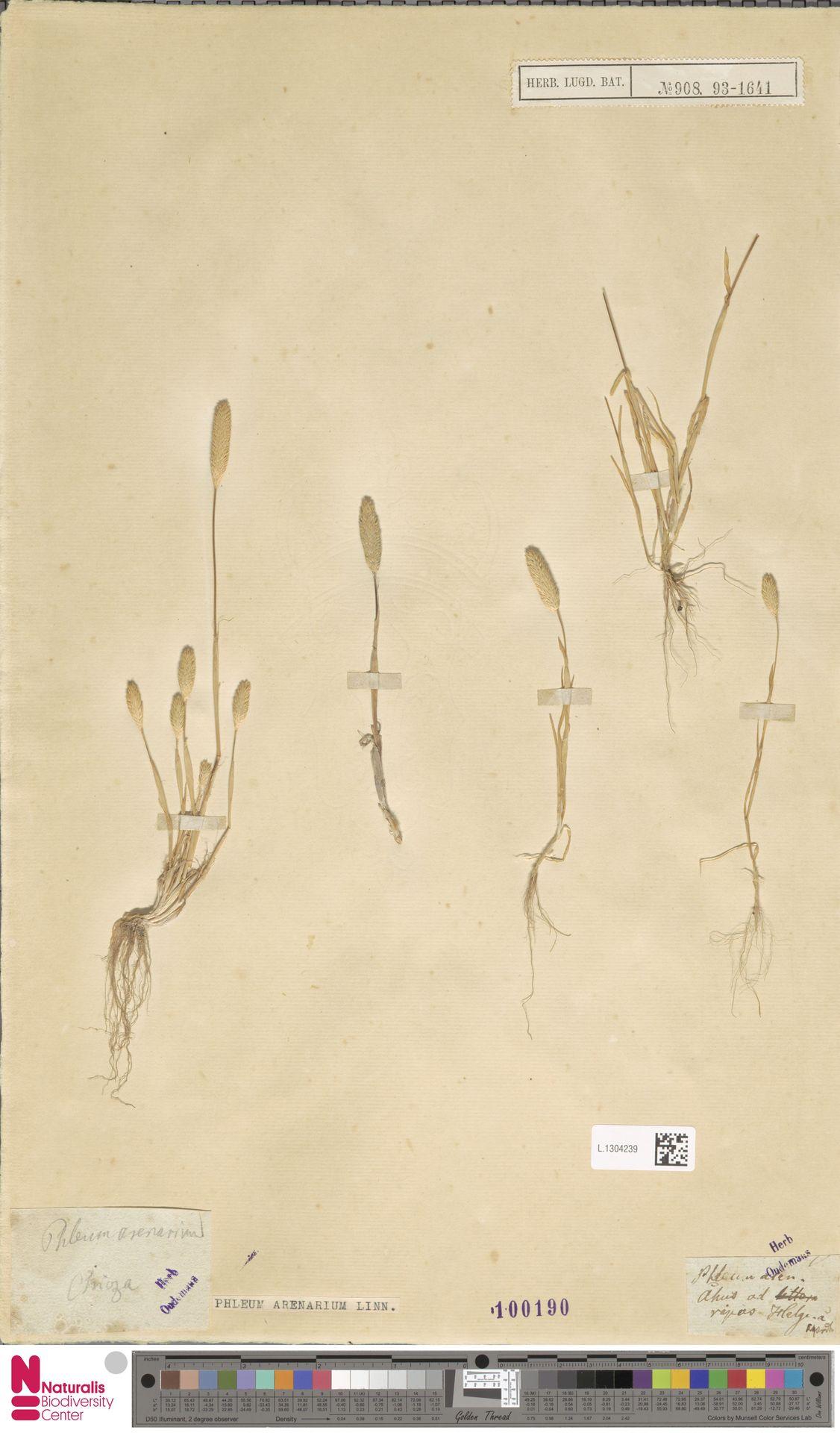 L.1304239 | Phleum arenarium L.