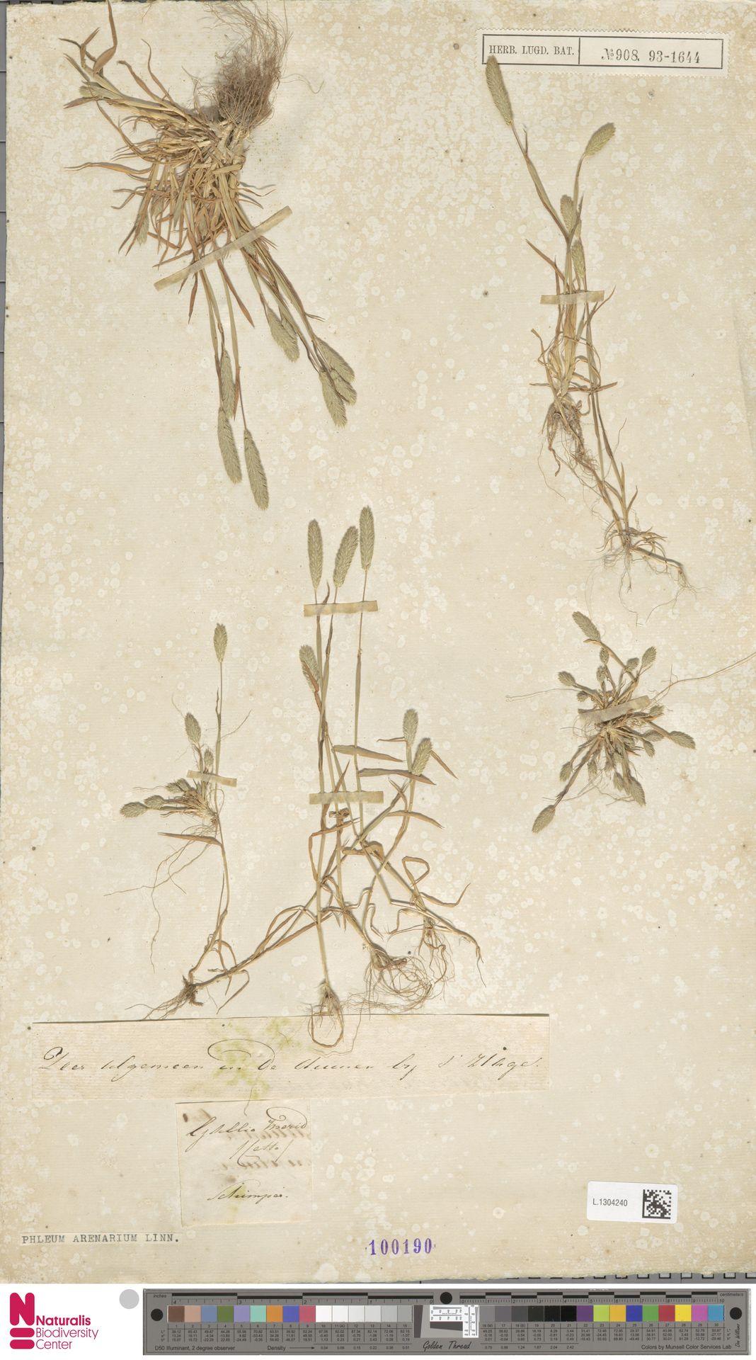 L.1304240 | Phleum arenarium L.