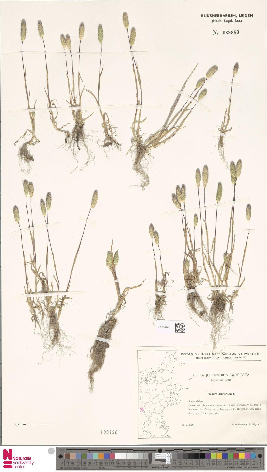 L.1304241 | Phleum arenarium L.