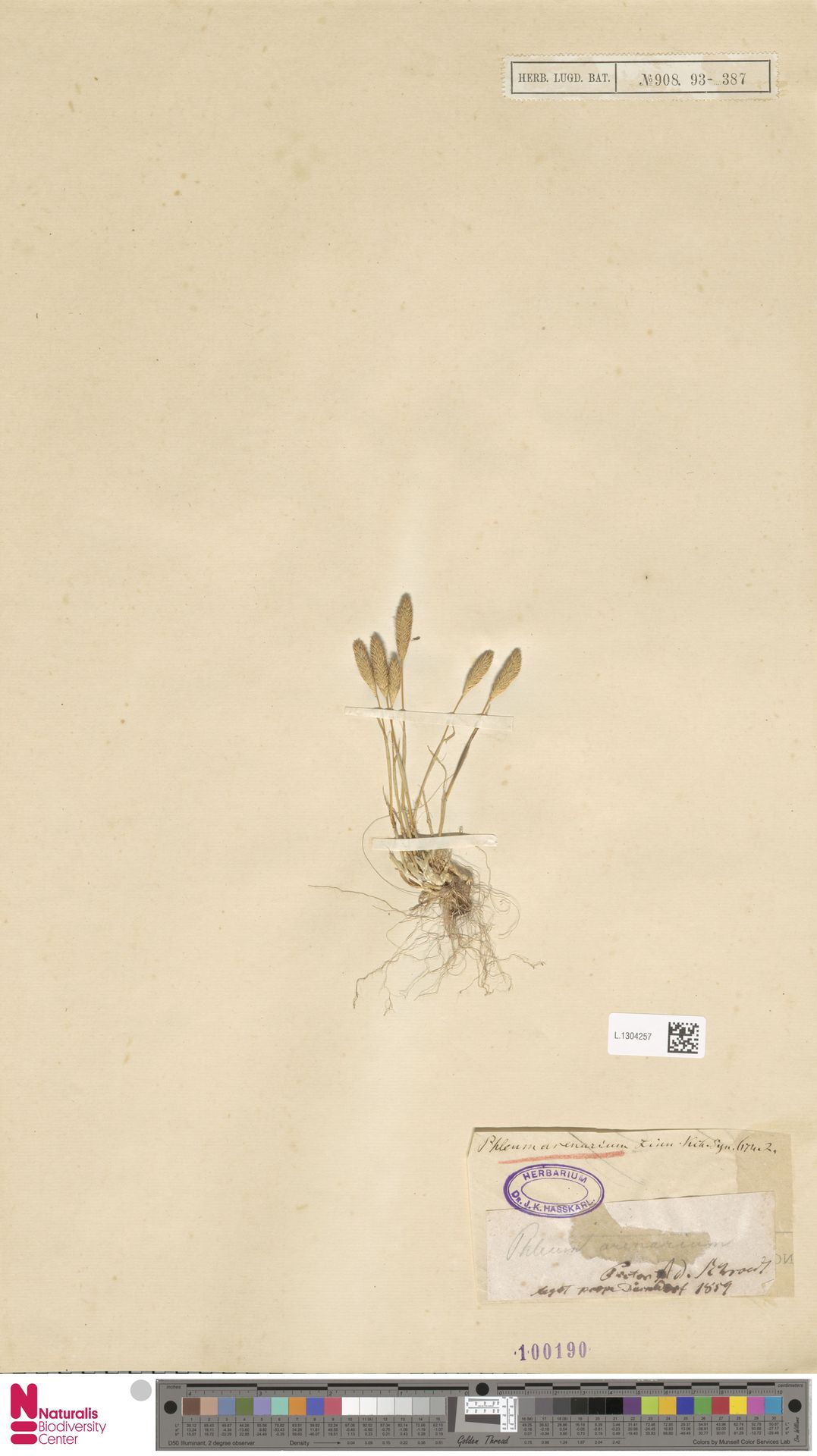 L.1304257 | Phleum arenarium L.