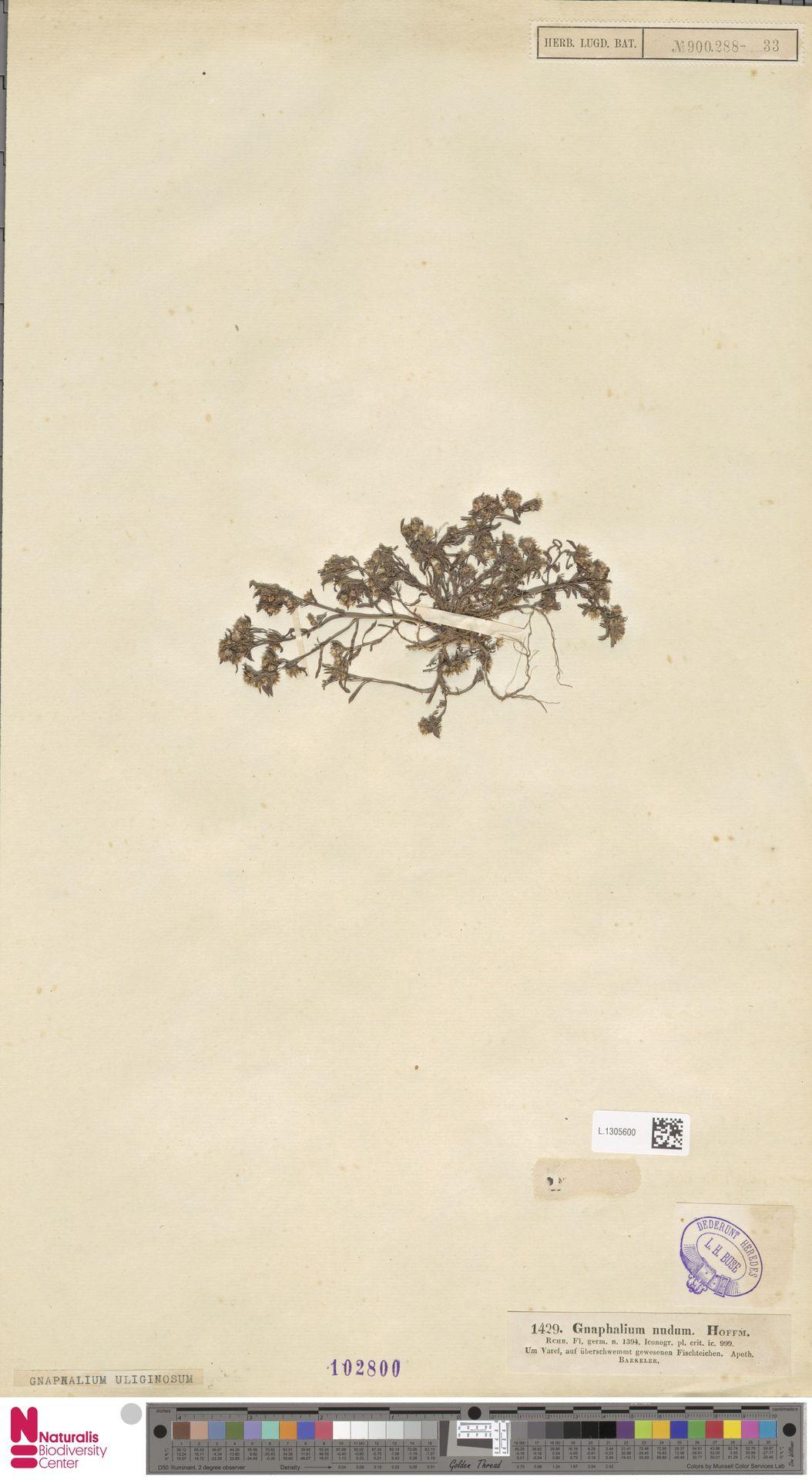 L.1305600 | Gnaphalium nudum Hoffm. ex J.F.Gmel.