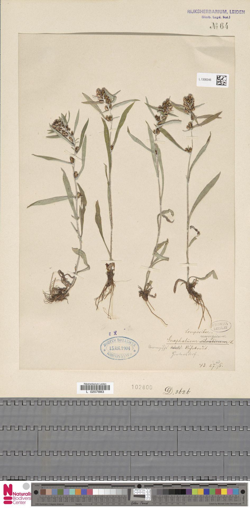L.1306346 | Gnaphalium norvegicum Gunnerus