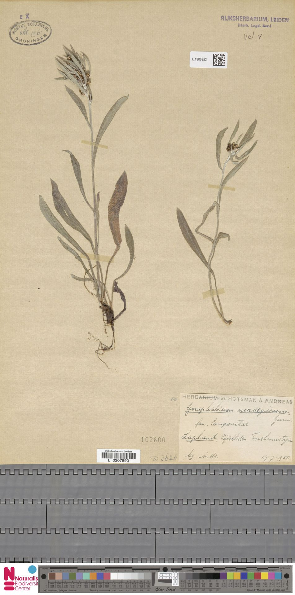L.1306352   Gnaphalium norvegicum Gunnerus