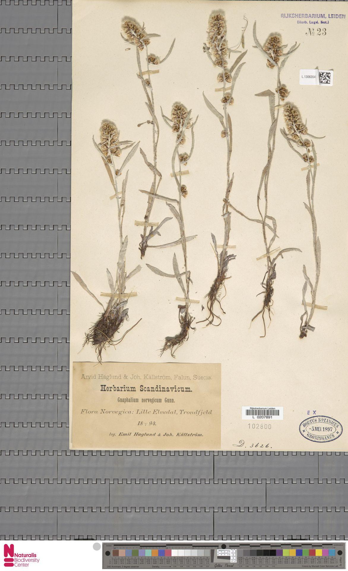 L.1306354   Gnaphalium norvegicum Gunnerus