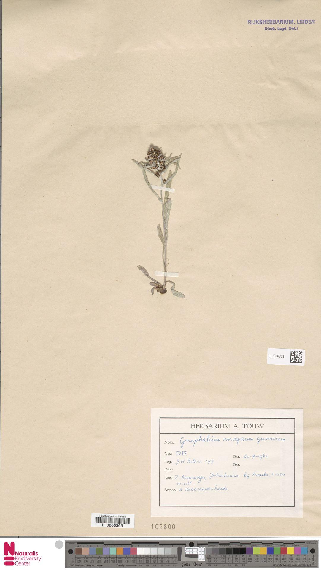 L.1306358 | Gnaphalium norvegicum Gunnerus