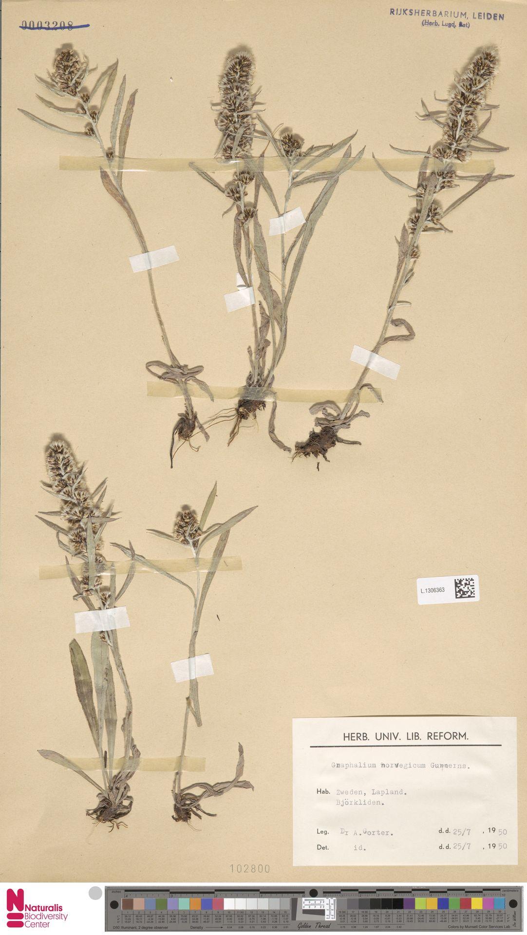 L.1306363 | Gnaphalium norvegicum Gunnerus
