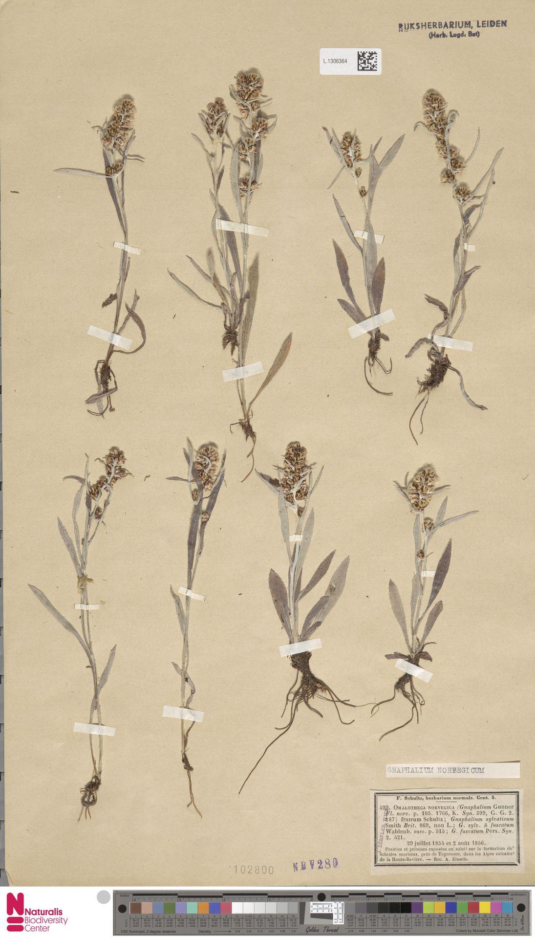 L.1306364 | Gnaphalium norvegicum Gunnerus