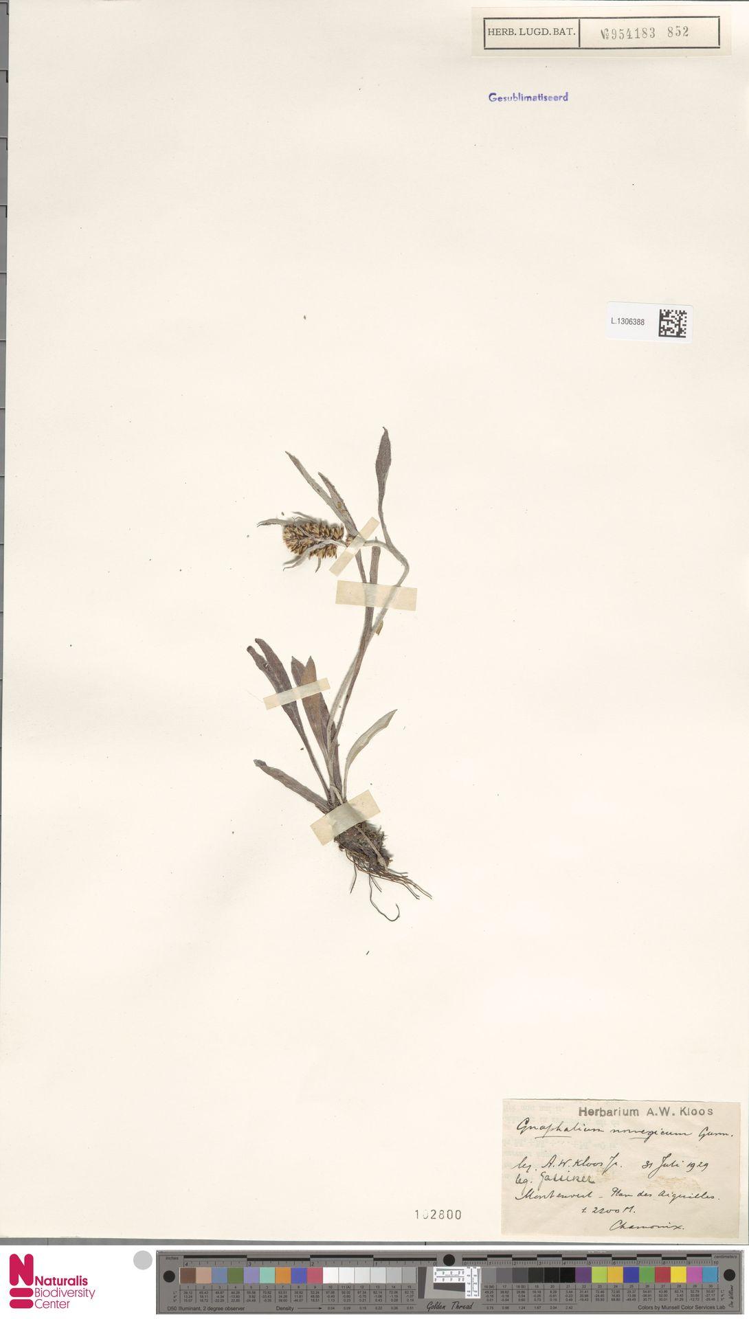 L.1306388 | Gnaphalium norvegicum Gunnerus
