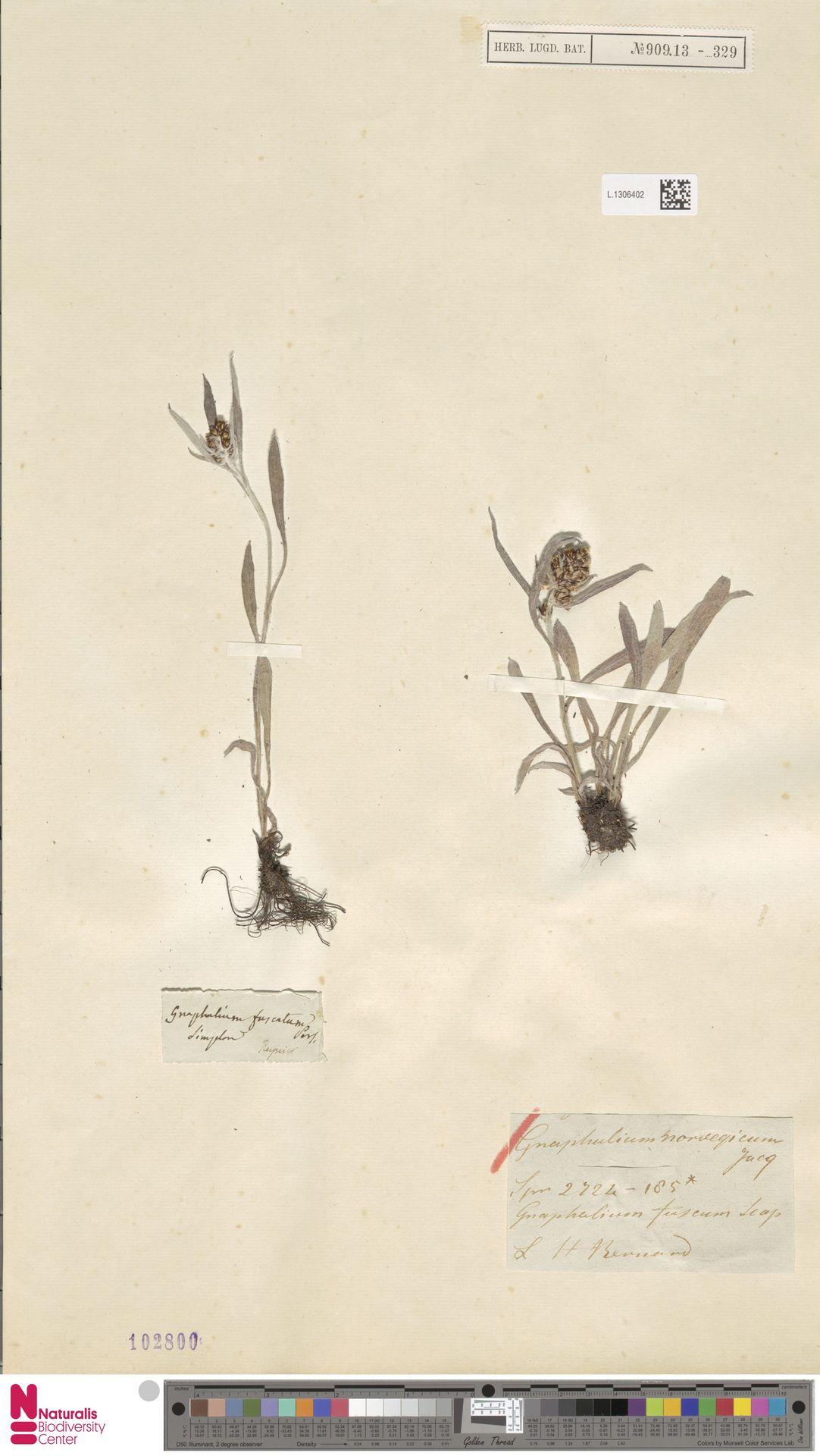 L.1306402 | Gnaphalium norvegicum Gunnerus