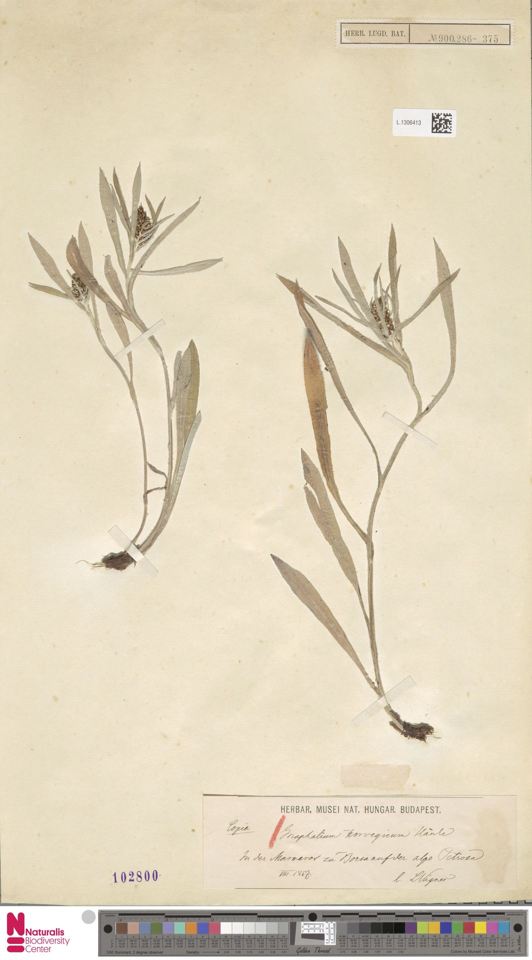 L.1306413 | Gnaphalium norvegicum Gunnerus