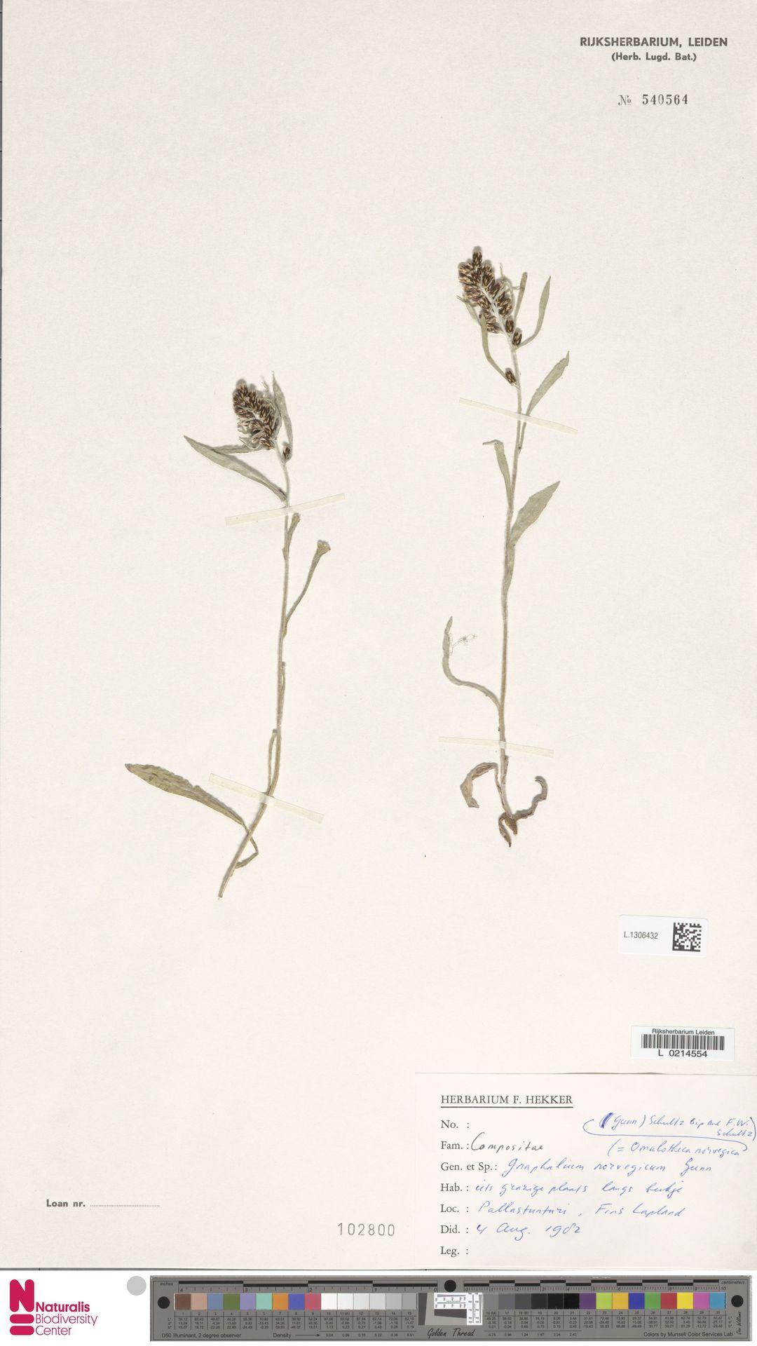 L.1306432 | Gnaphalium norvegicum Gunnerus