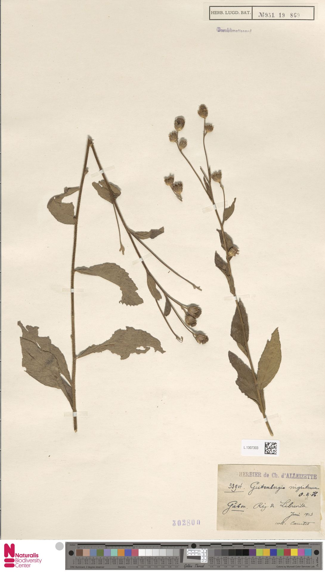 L.1307303 | Gutenbergia nigritana (Benth.) Oliv. & Hiern