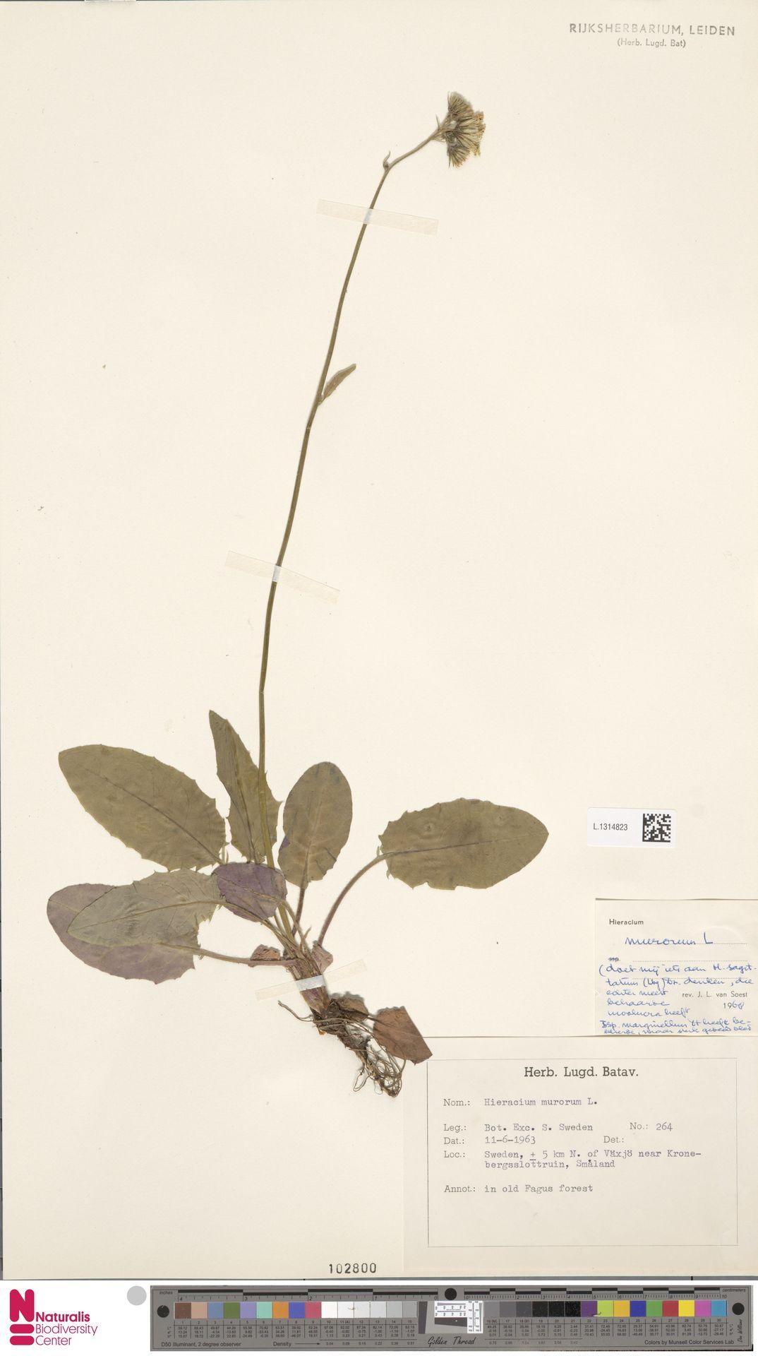 L.1314823   Hieracium murorum L.