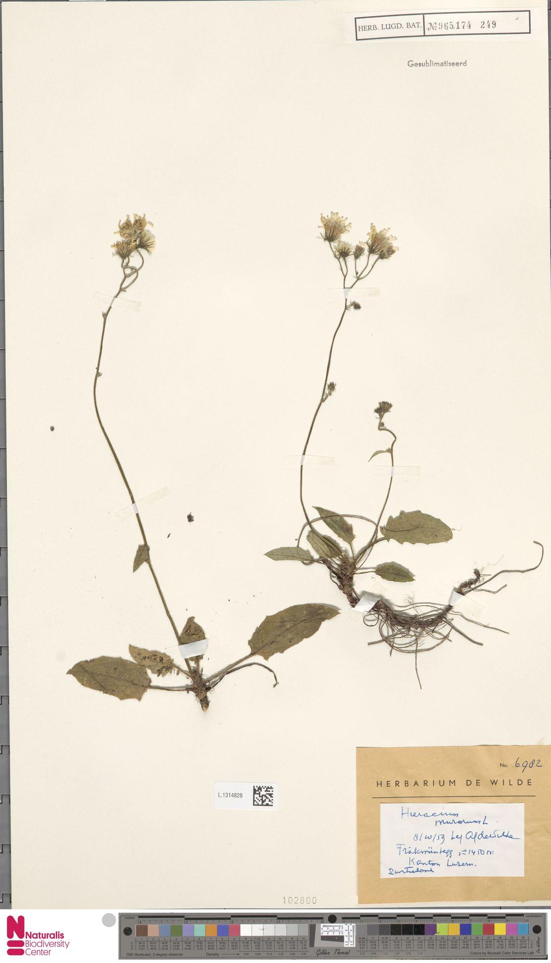 L.1314828 | Hieracium murorum L.