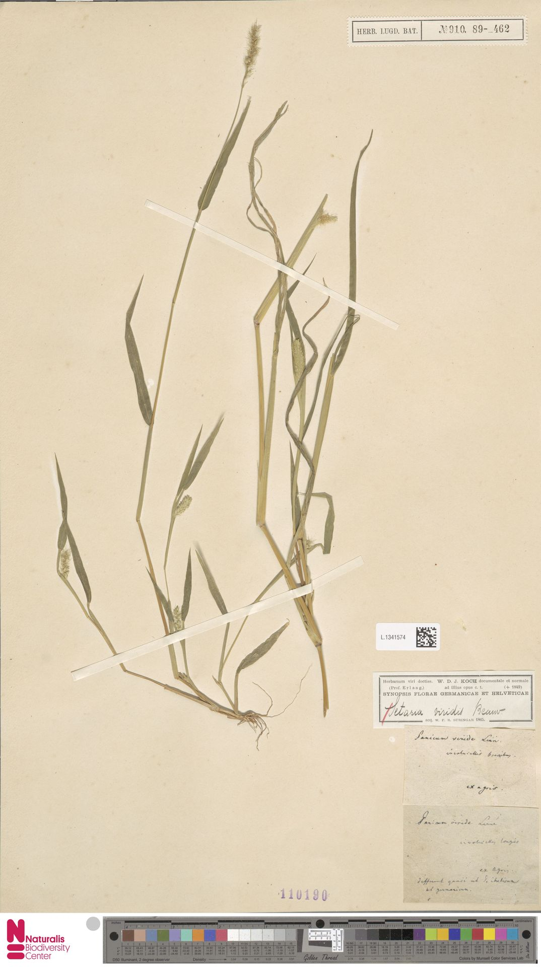 L.1341574 | Setaria viridis (L.) P.Beauv.