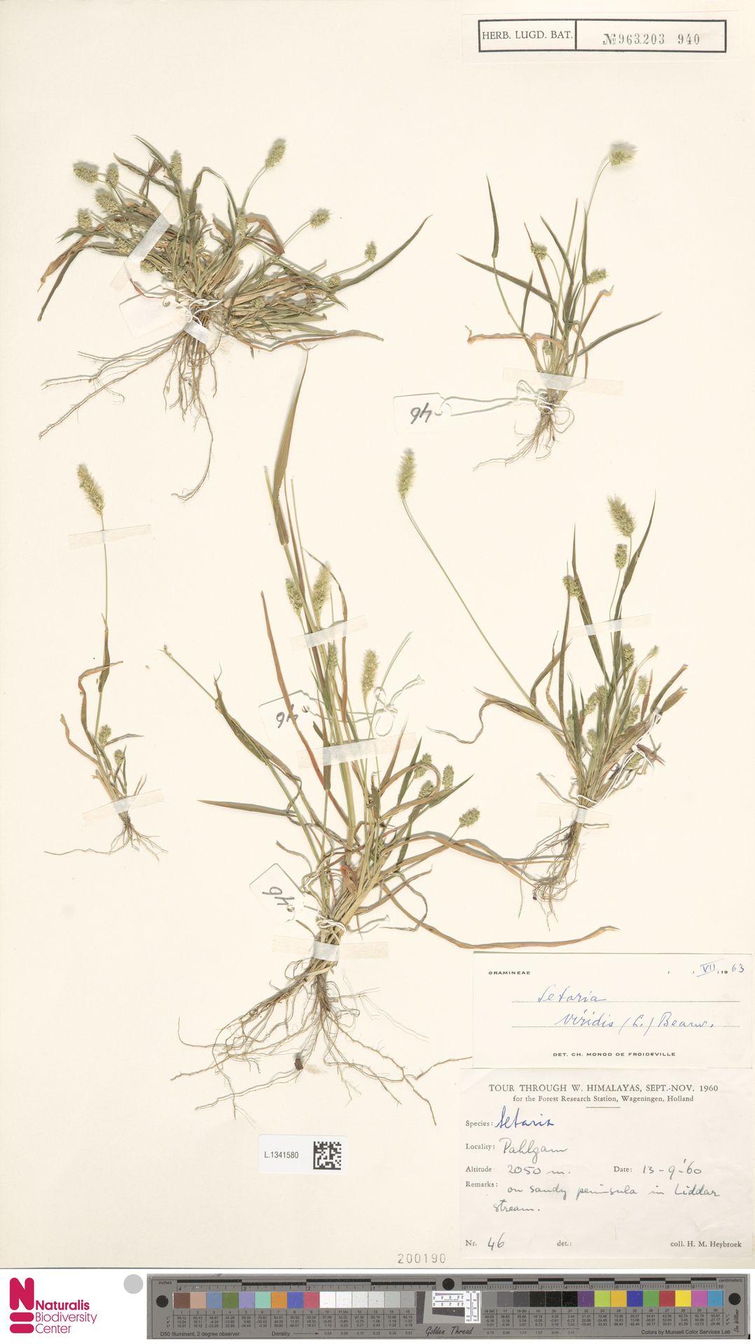 L.1341580 | Setaria viridis (L.) P.Beauv.