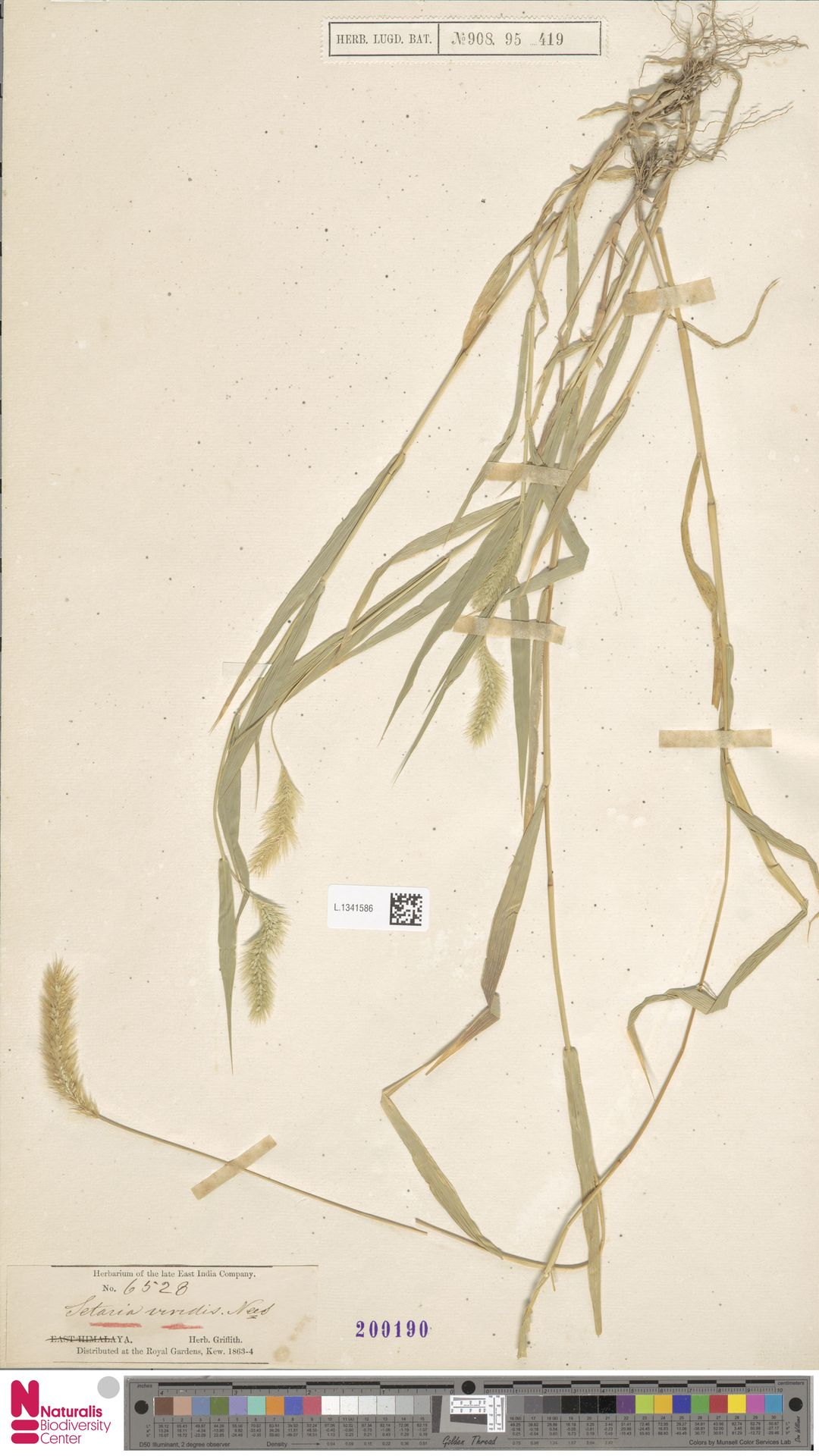 L.1341586   Setaria viridis (L.) P.Beauv.