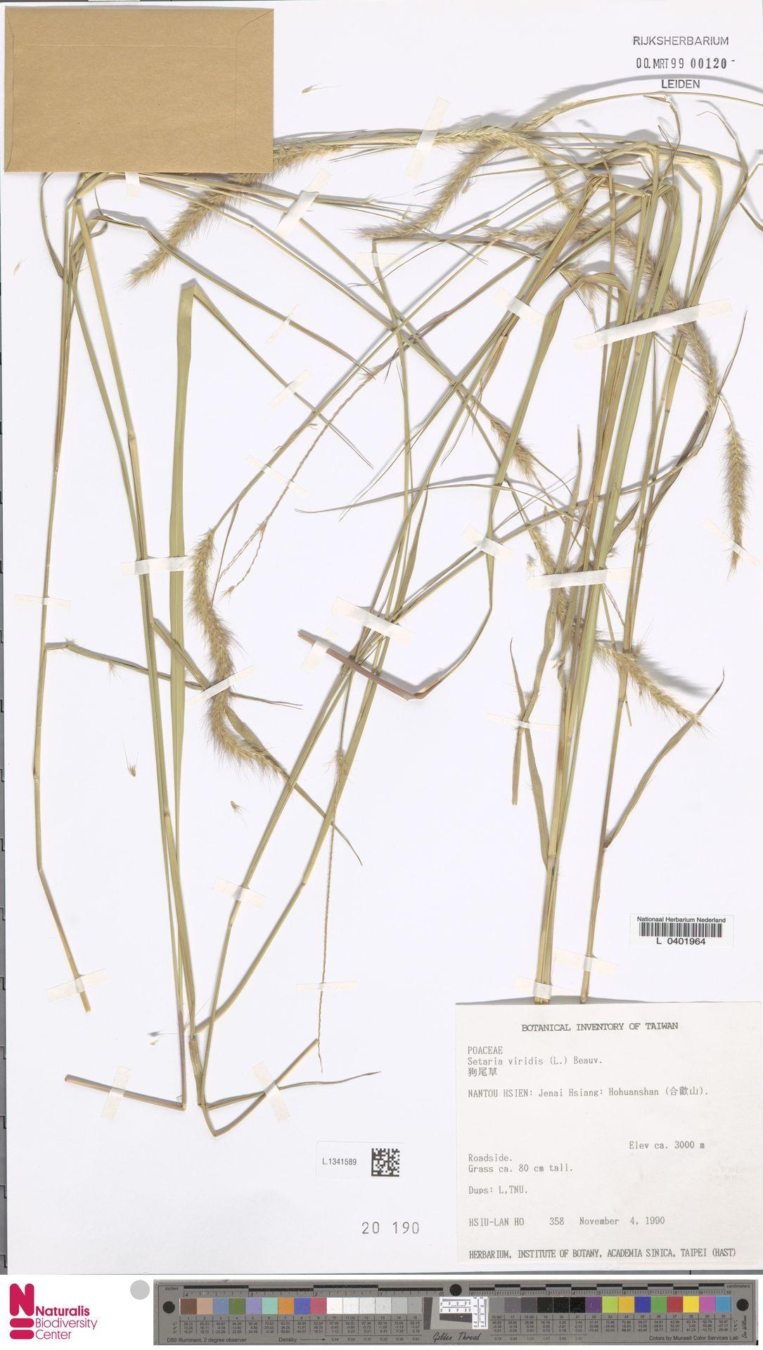 L.1341589 | Setaria viridis (L.) P.Beauv.