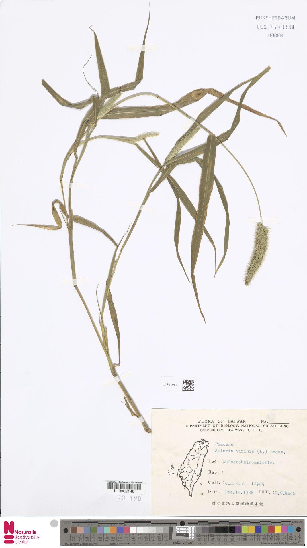 L.1341590   Setaria viridis (L.) P.Beauv.