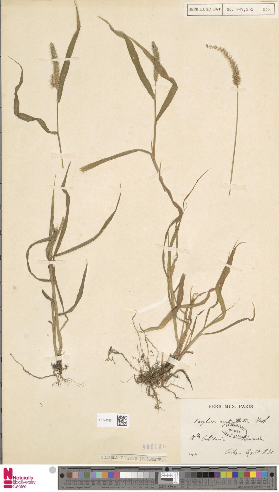 L.1341595 | Setaria viridis (L.) P.Beauv.