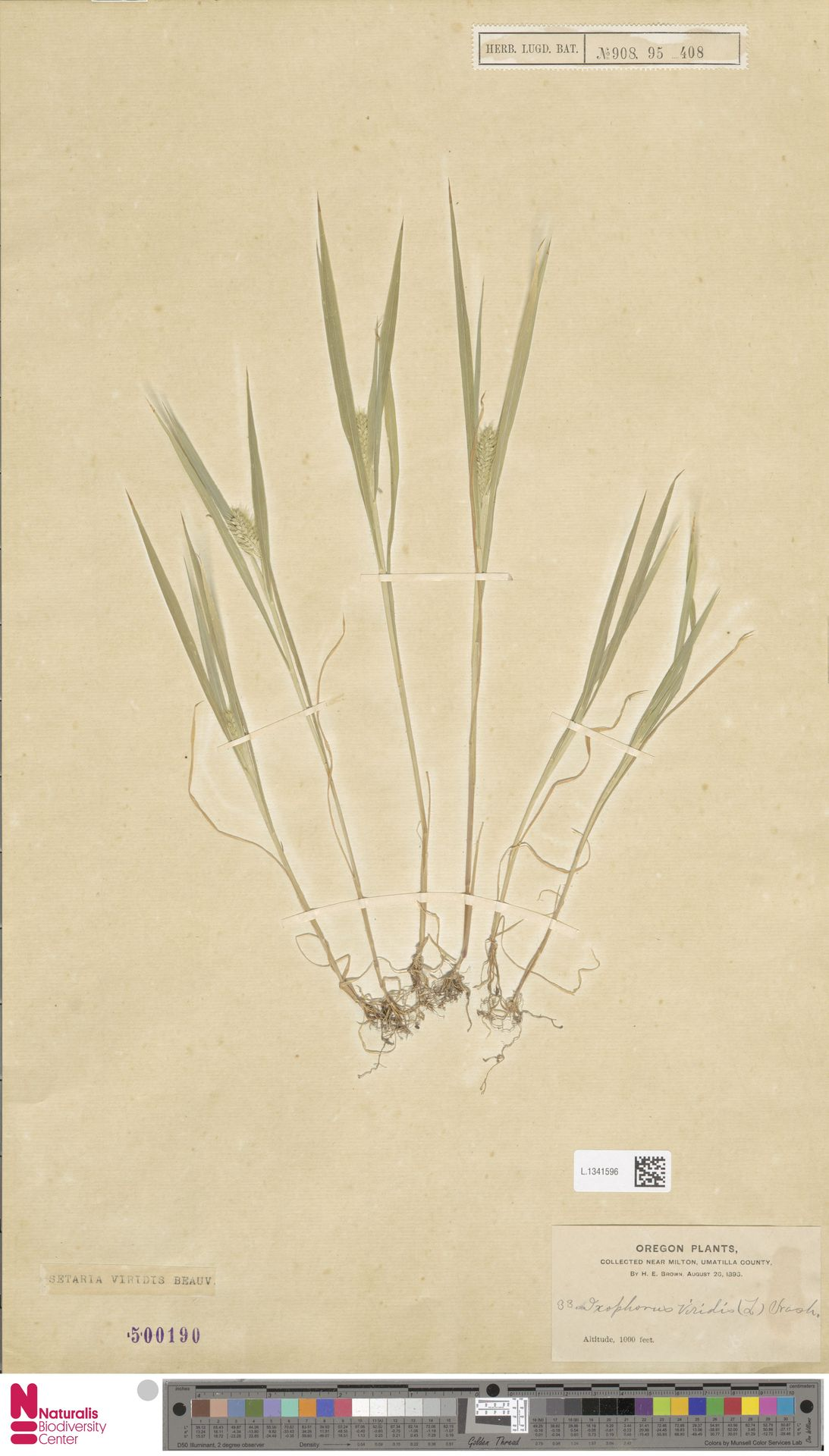 L.1341596 | Setaria viridis (L.) P.Beauv.