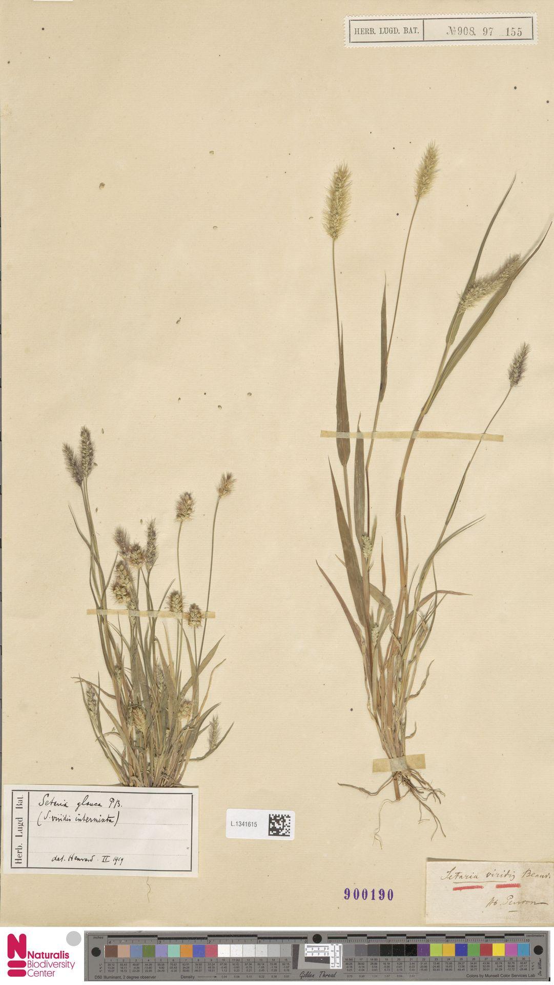L.1341615 | Setaria viridis (L.) P.Beauv.