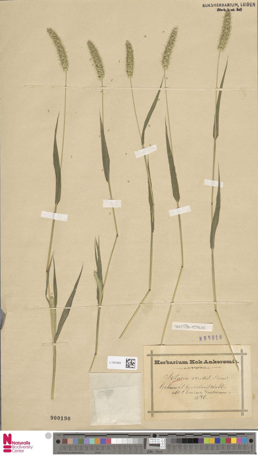 L.1341620 | Setaria viridis (L.) P.Beauv.