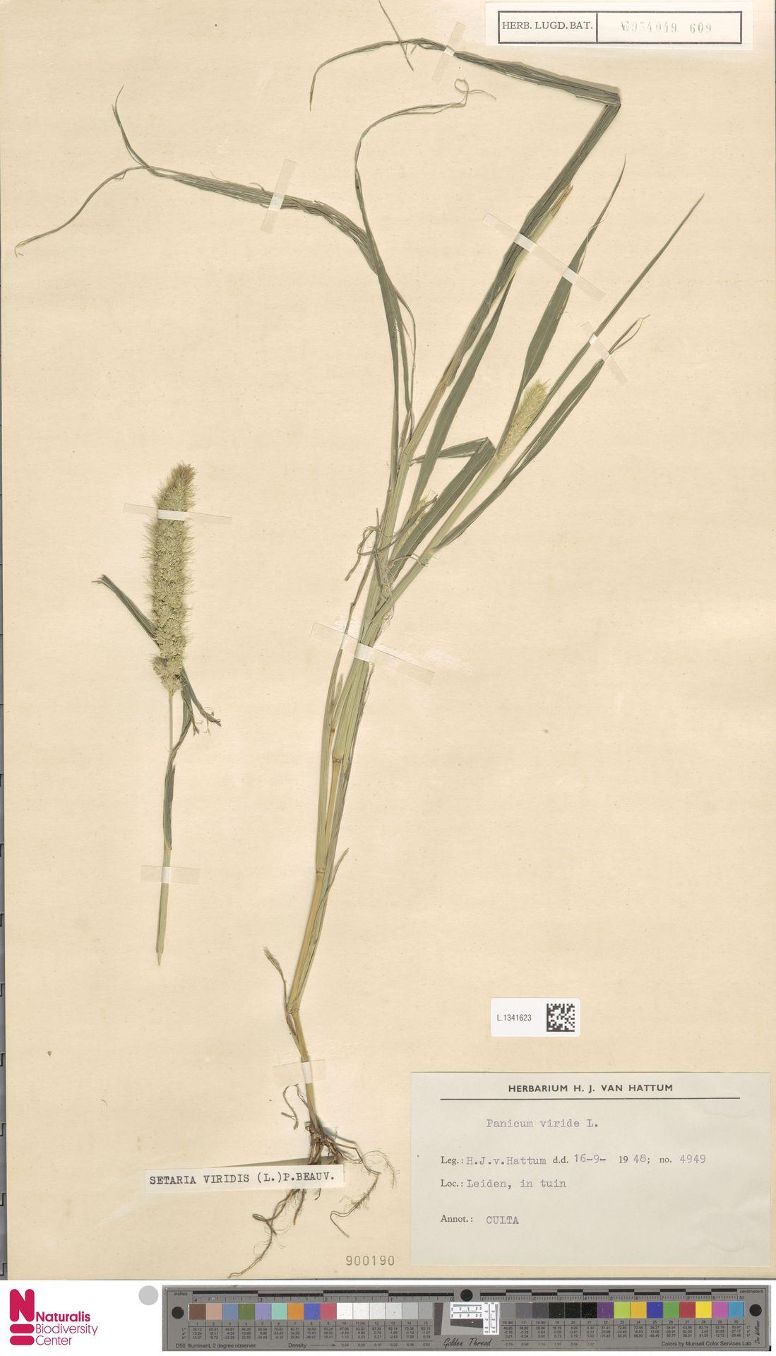 L.1341623 | Setaria viridis (L.) P.Beauv.