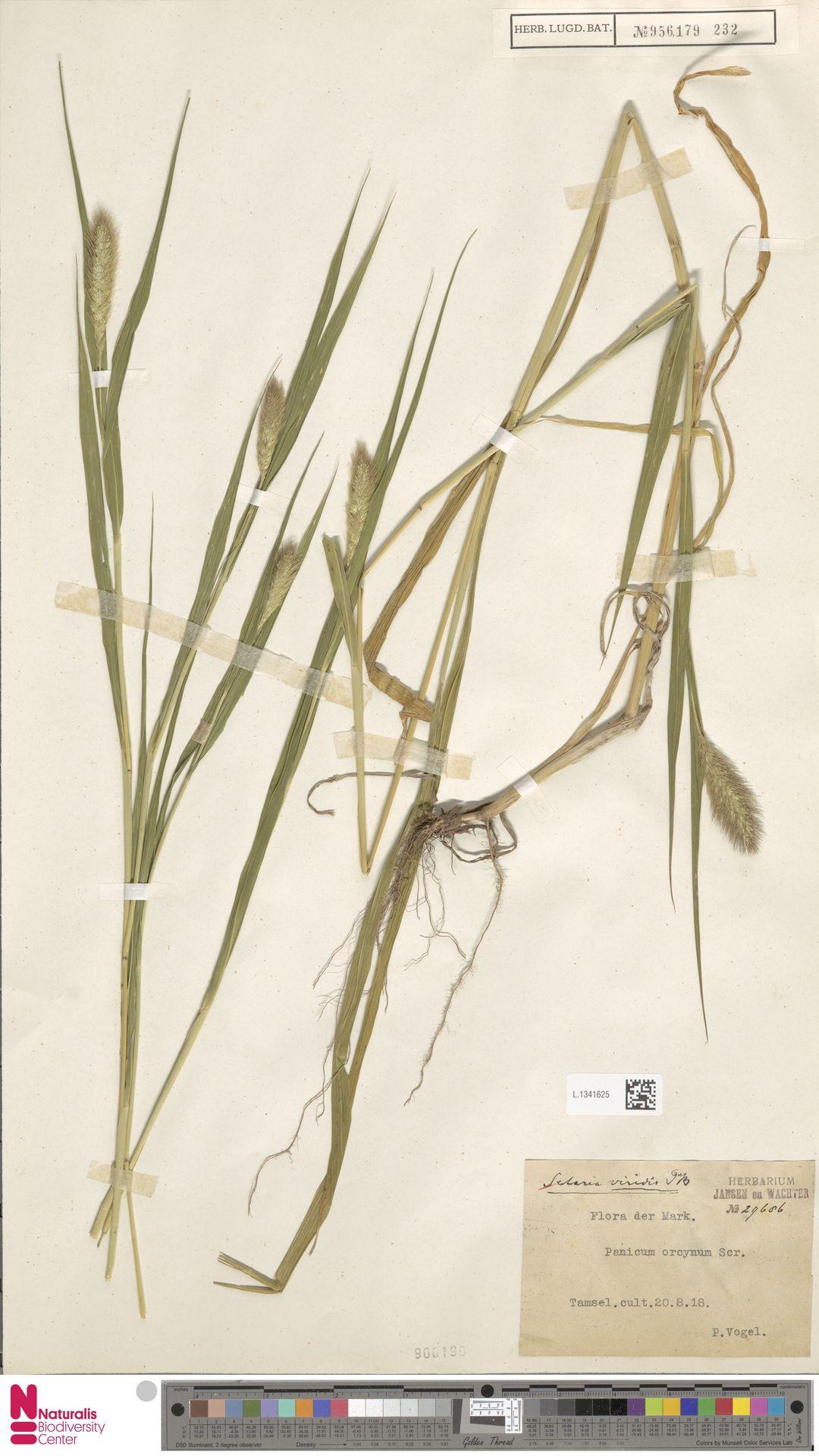 L.1341625 | Setaria viridis (L.) P.Beauv.