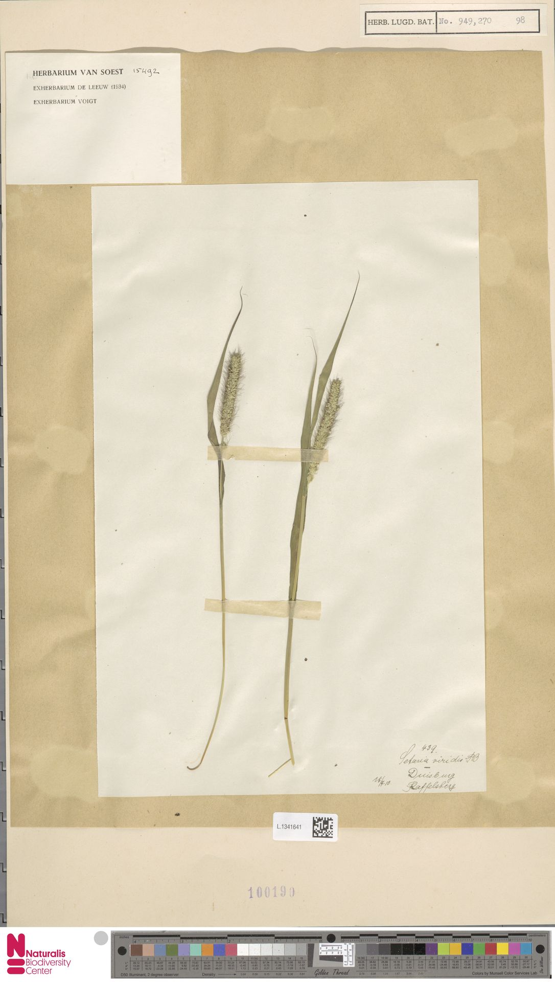 L.1341641   Setaria viridis (L.) P.Beauv.