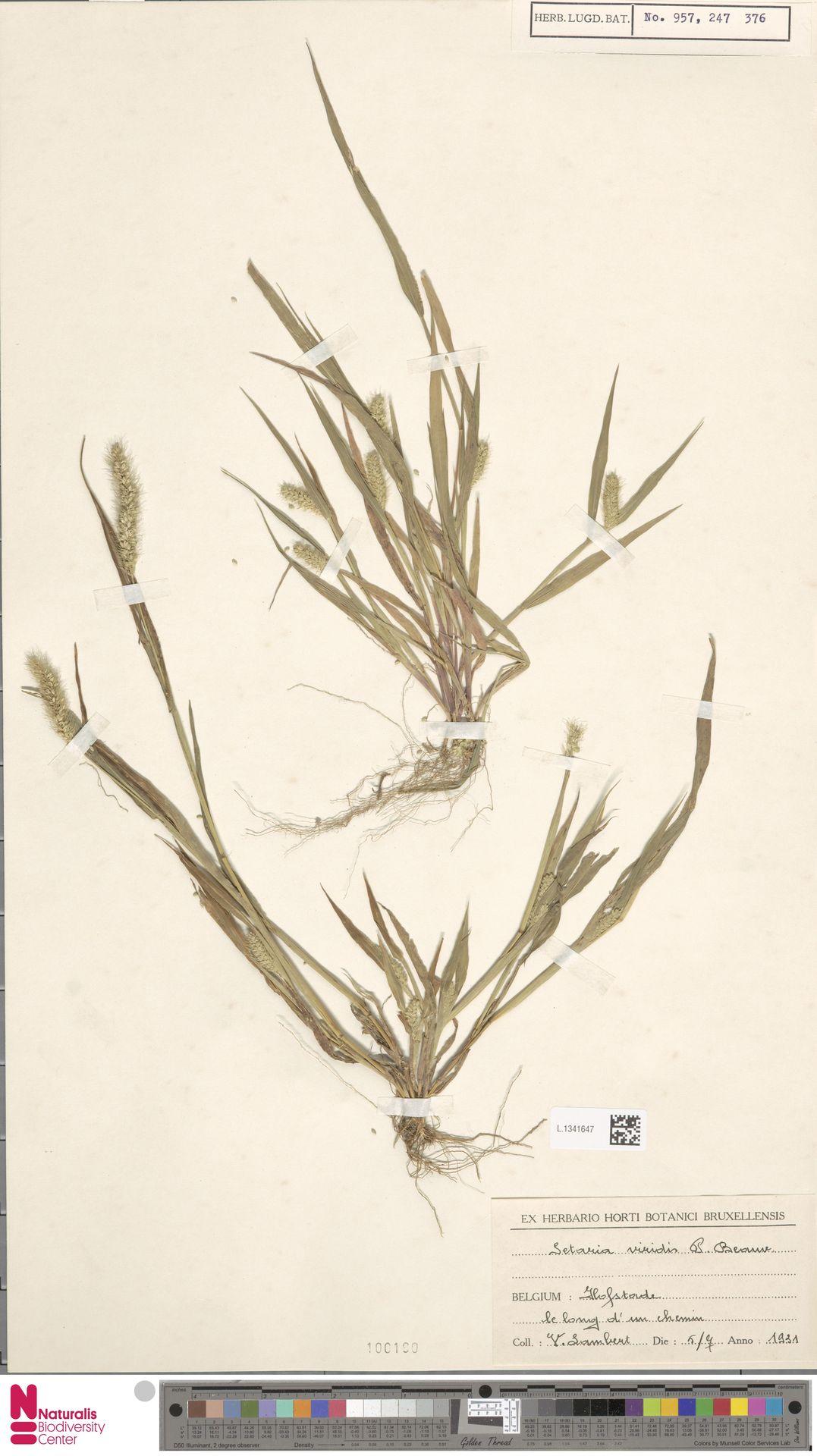 L.1341647   Setaria viridis (L.) P.Beauv.