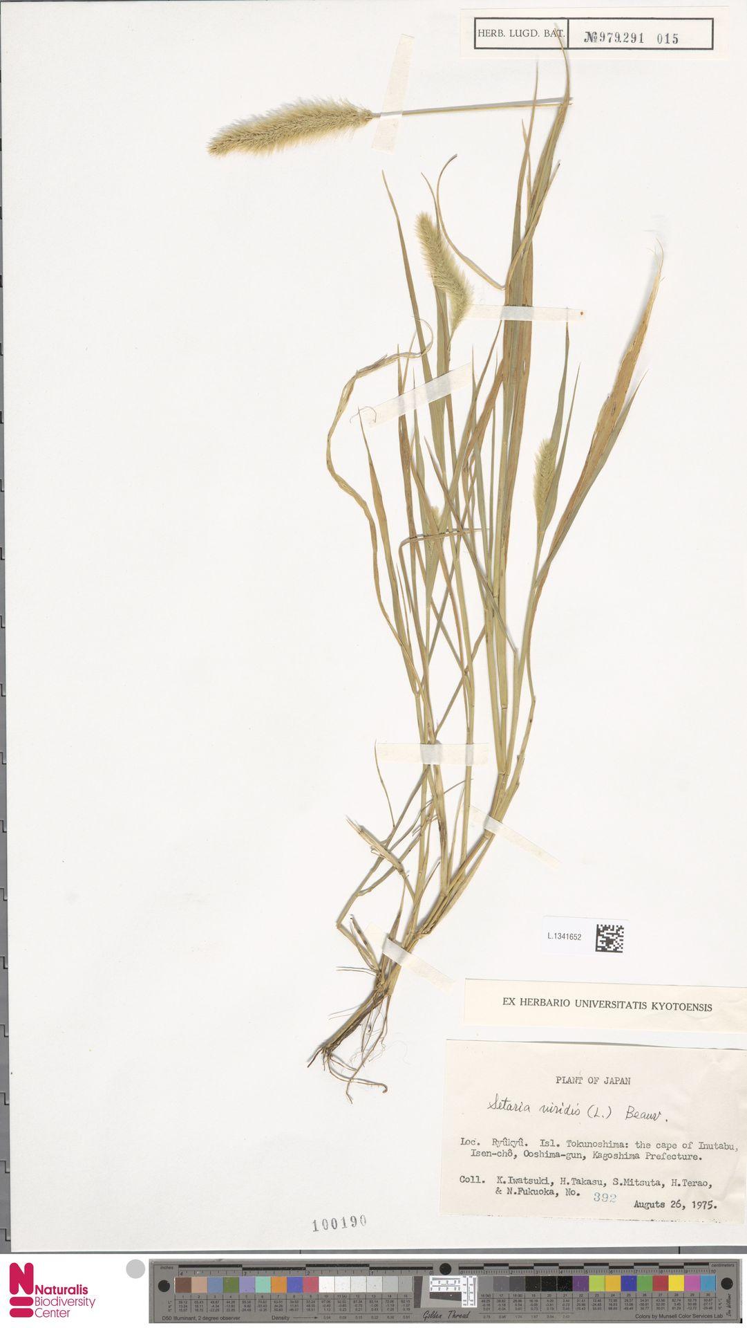 L.1341652 | Setaria viridis (L.) P.Beauv.