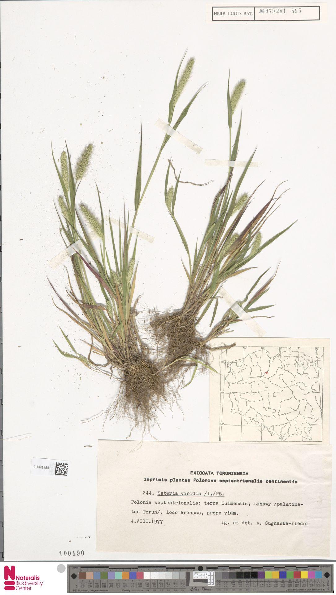 L.1341654 | Setaria viridis (L.) P.Beauv.