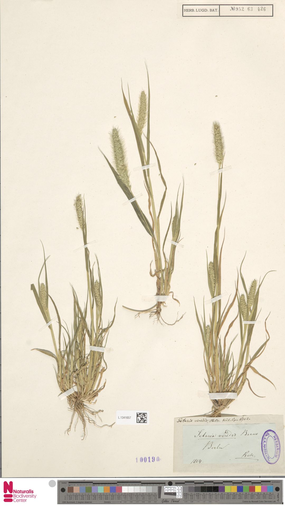 L.1341657 | Setaria viridis (L.) P.Beauv.