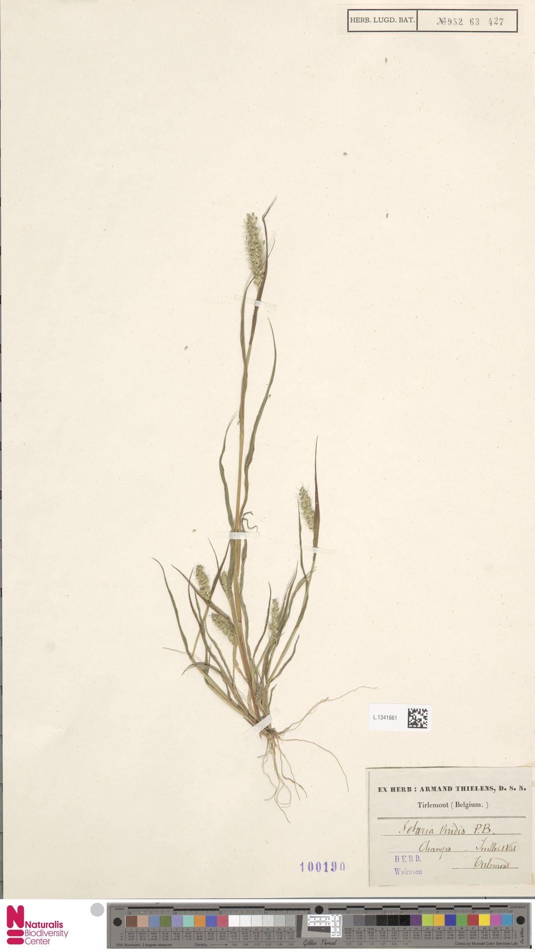 L.1341661 | Setaria viridis (L.) P.Beauv.
