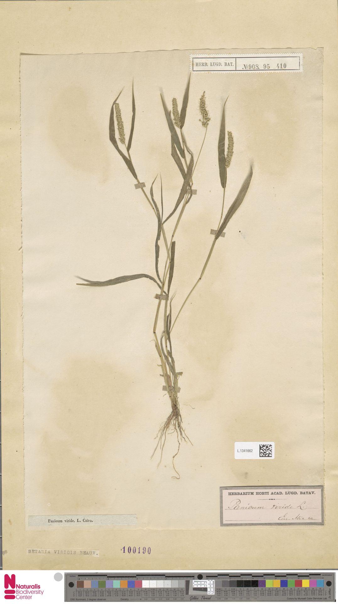 L.1341662   Setaria viridis (L.) P.Beauv.