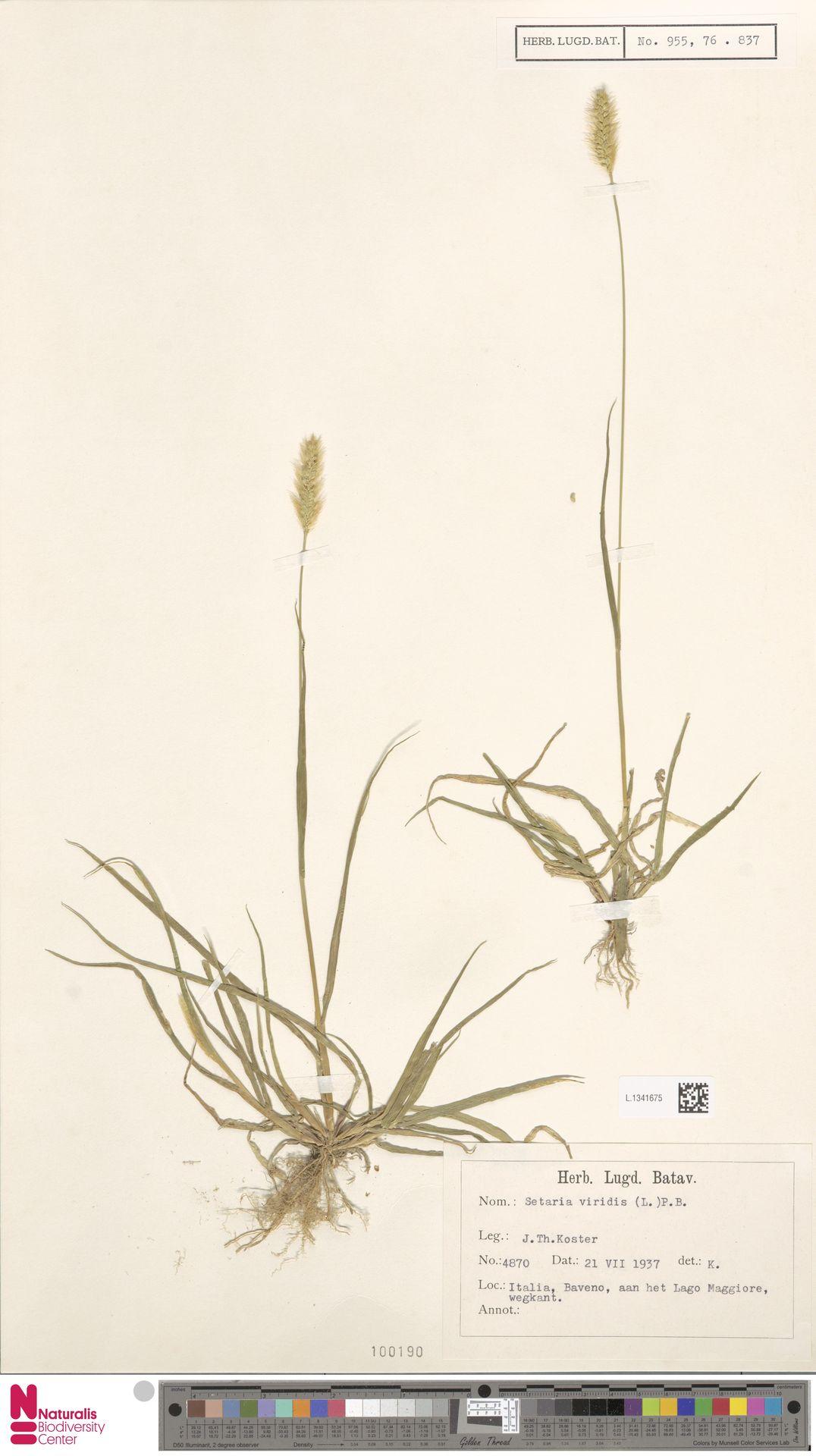 L.1341675 | Setaria viridis (L.) P.Beauv.