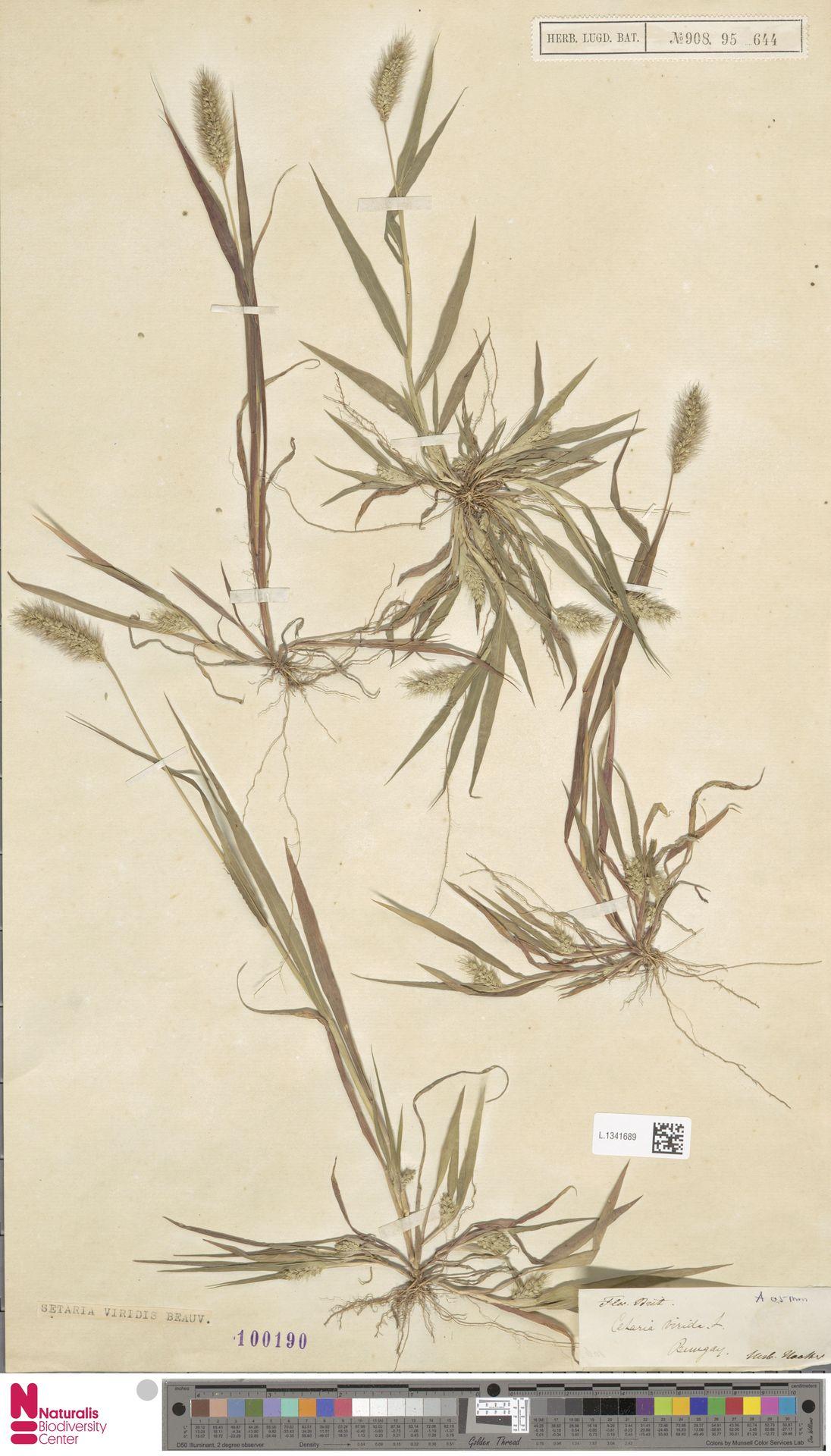 L.1341689 | Setaria viridis (L.) P.Beauv.