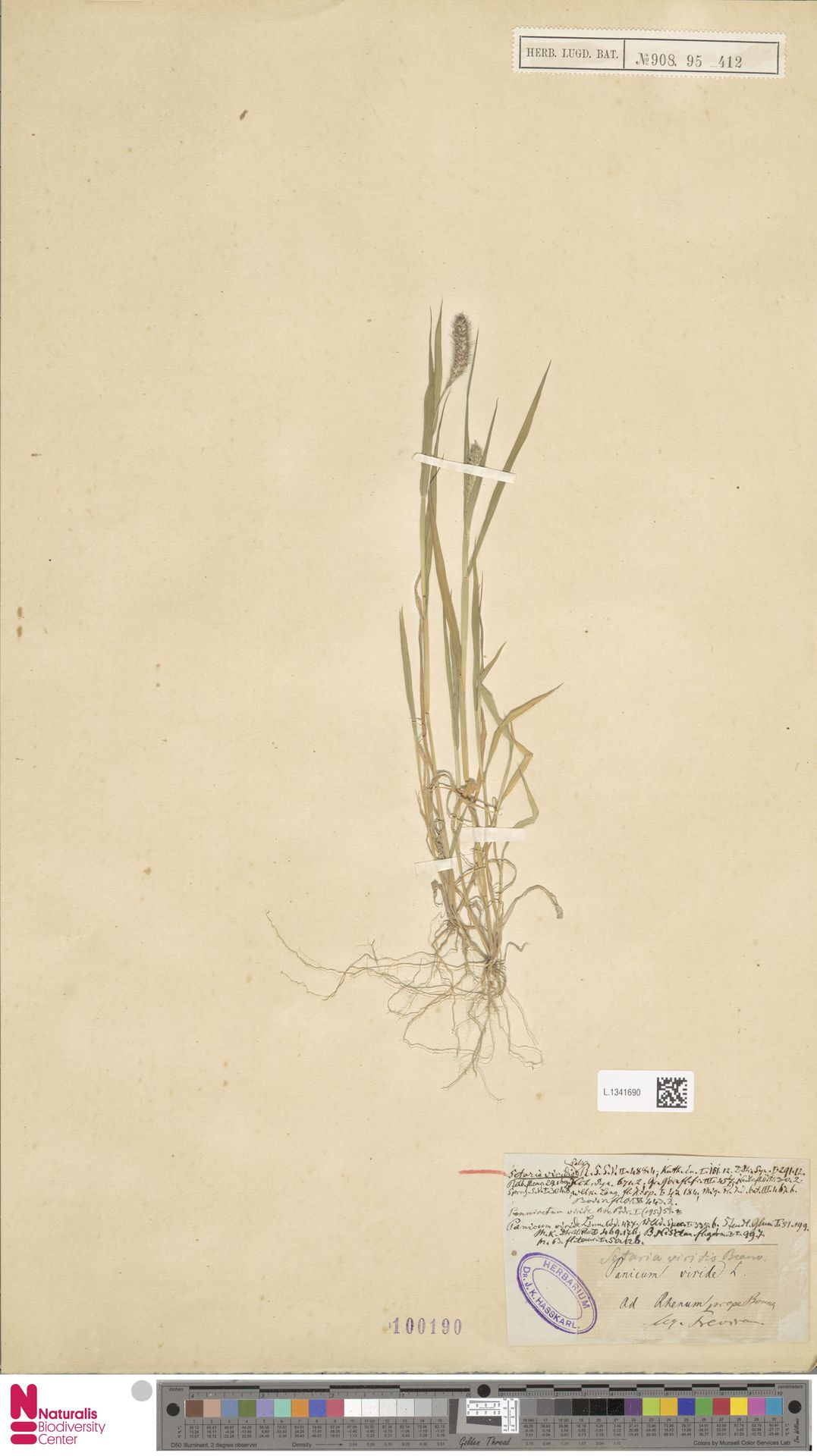 L.1341690 | Setaria viridis (L.) P.Beauv.